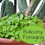 Balcony Foraging - How to eat your weeds!