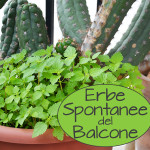 Erbe Spontanee del Balcone: Come mangiare erbacce!