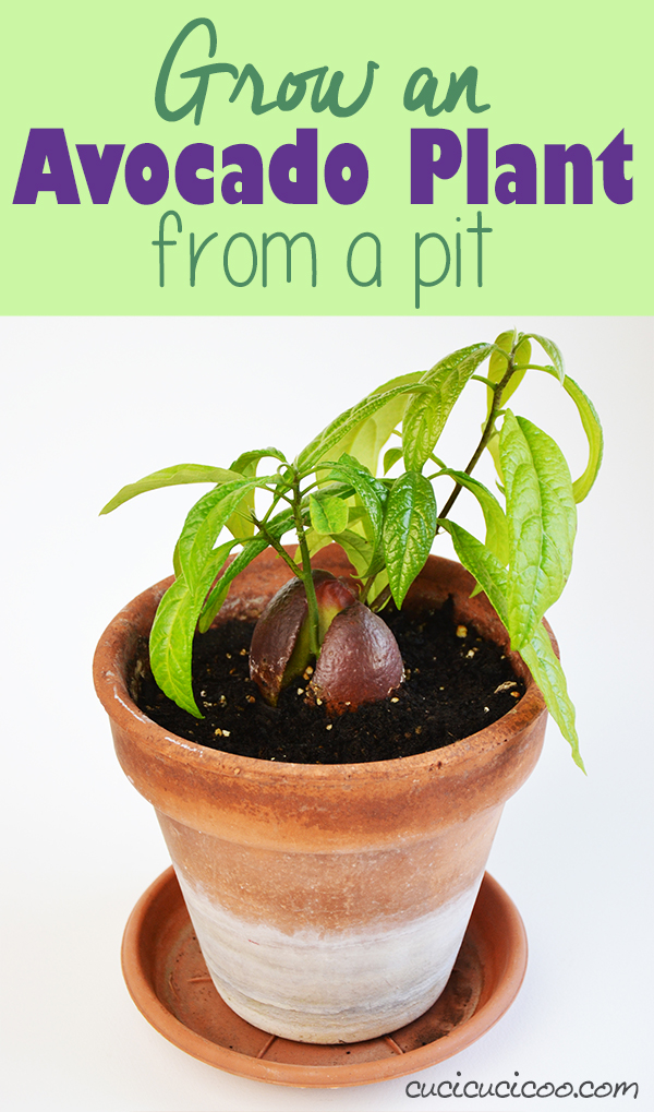 How to grow an avocado plant from a pit cucicucicoo for How do you grow an avocado seed
