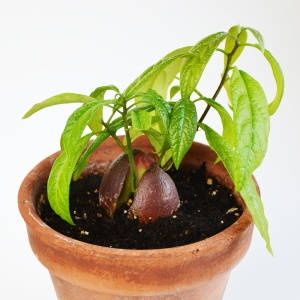 The way to grow an avocado plant from a pit that actually WORKS! www.cucicucicoo.com