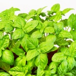 How to grow basil year after year (without spending!)